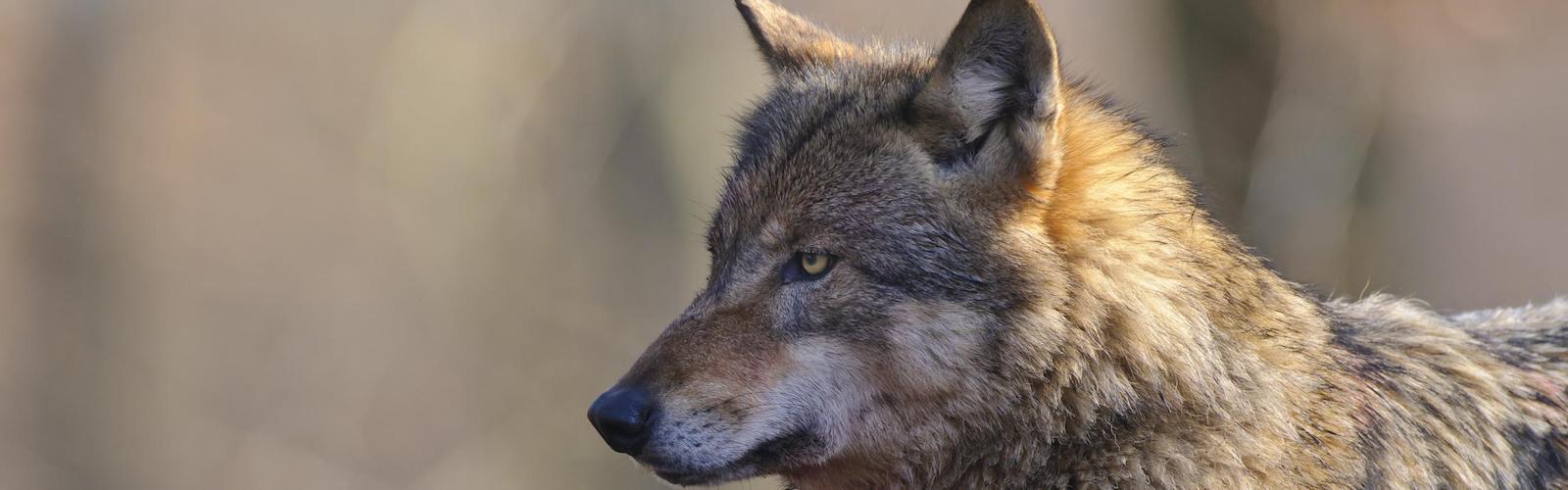 Wolfsjagd als Managementmaßnahme