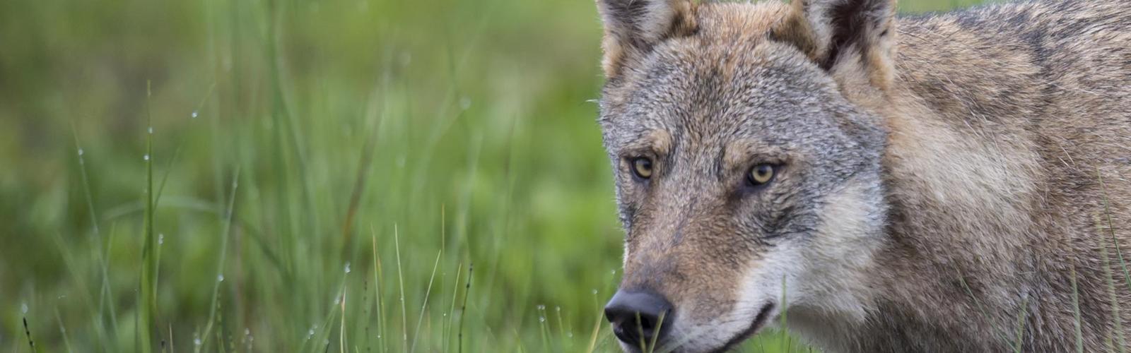 Fragen und Antworten zum Wolf