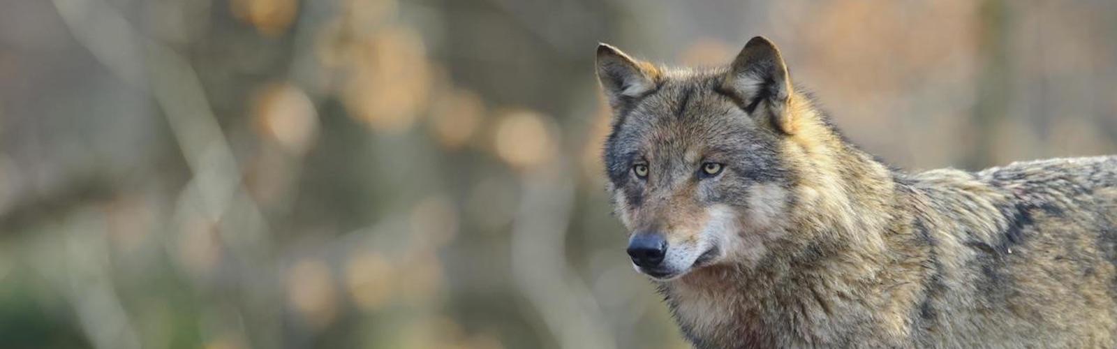 Wolf-Bundesnaturschutzgesetz
