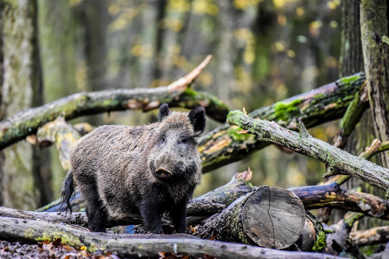 ASP Früherkennung - Schwarzwild im Wald