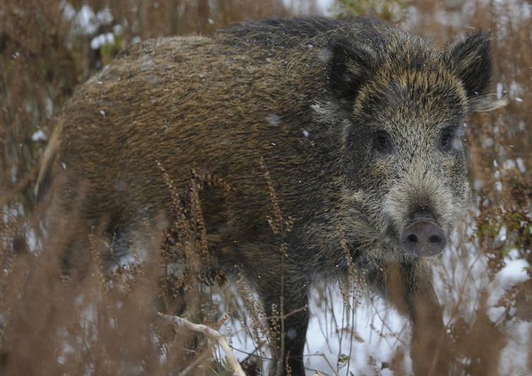 Früherkennung Afrikanische Schweinepest